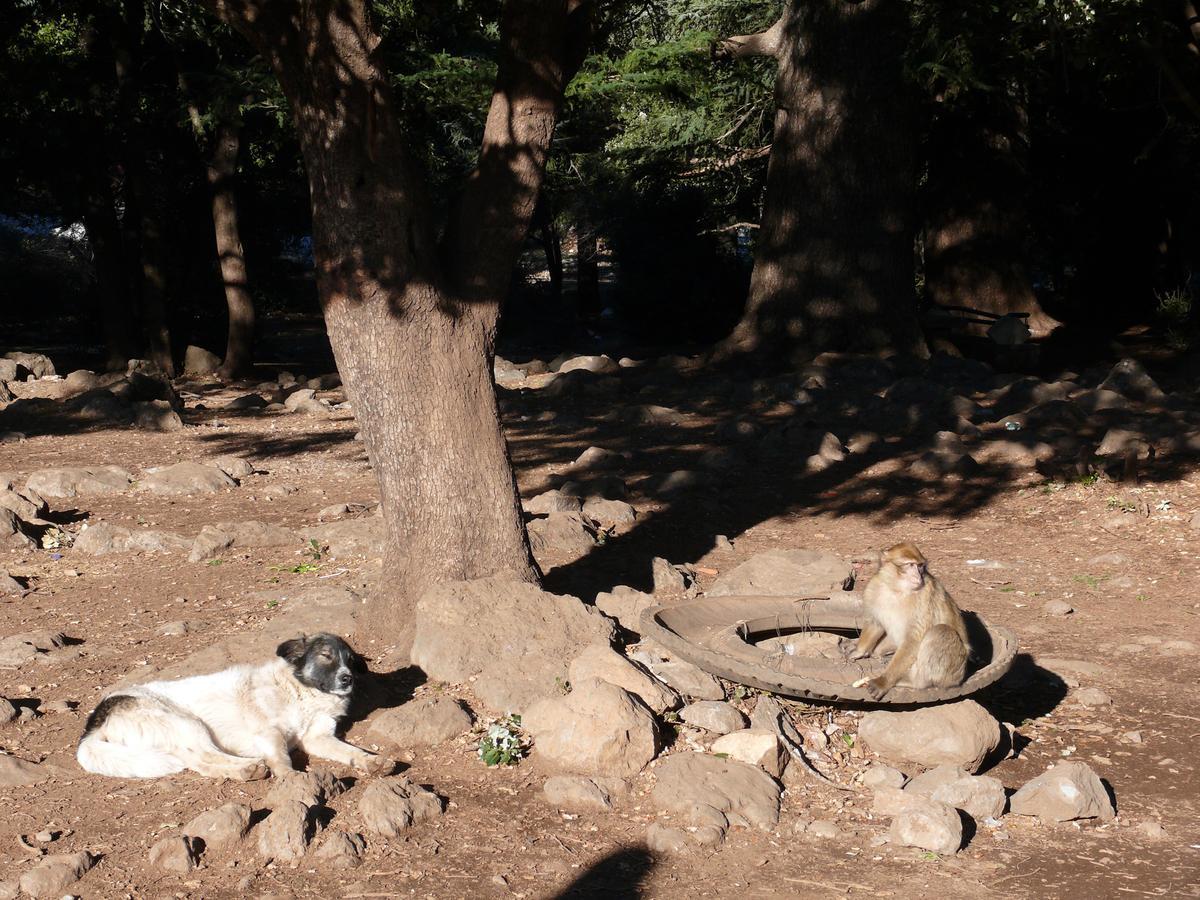 Dog Sleeps Under a Tree Beside a Monkey in Morocco