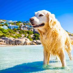 Golden Retriever Stands in Water by Houses