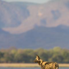 Wild Dog in the Desert in Zambia