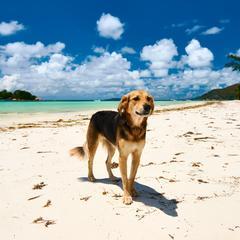 Dog Looks Ahead on the Beach in Seychelles.