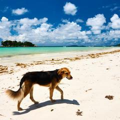 Dog Walks Along the Beach in Seychelles