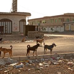 Dogs in the Street of Yemen
