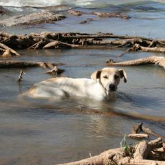 Dog Rests in Kunene River in Namibia