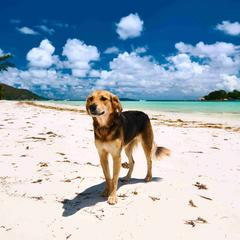 Dog Stands on Beach with Ocean in Seychelles