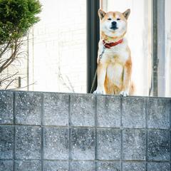 Shiba Inu Sits on a Stone Wall