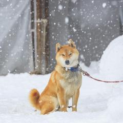 Shiba Inu Sits in Falling Snow