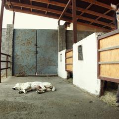 Dog Sleeps Outside a Horse Stall