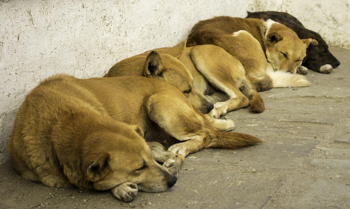 Four Dogs Sleeping Along a Wall