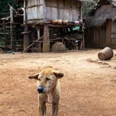 Dog in Uxo Village