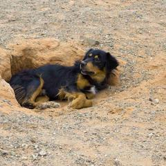 Dog Rests in a Hole in the Dirt