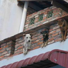 Three Dogs Peer out of Windows