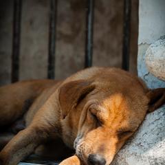 Dog Sleeps at a Temple