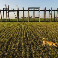 Dog Runs Through Crops