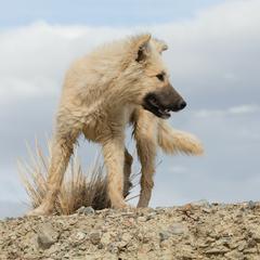 Herding Dog on Rocky Ledge