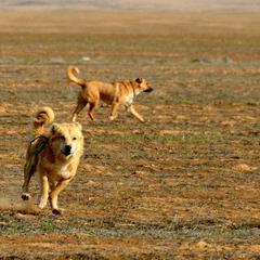 Dogs Run in the Desert