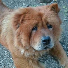 Chow Chow Lies on the Ground