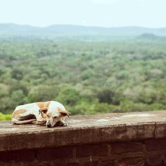 Dog Sleeps on a Wall in a Tropical Forest