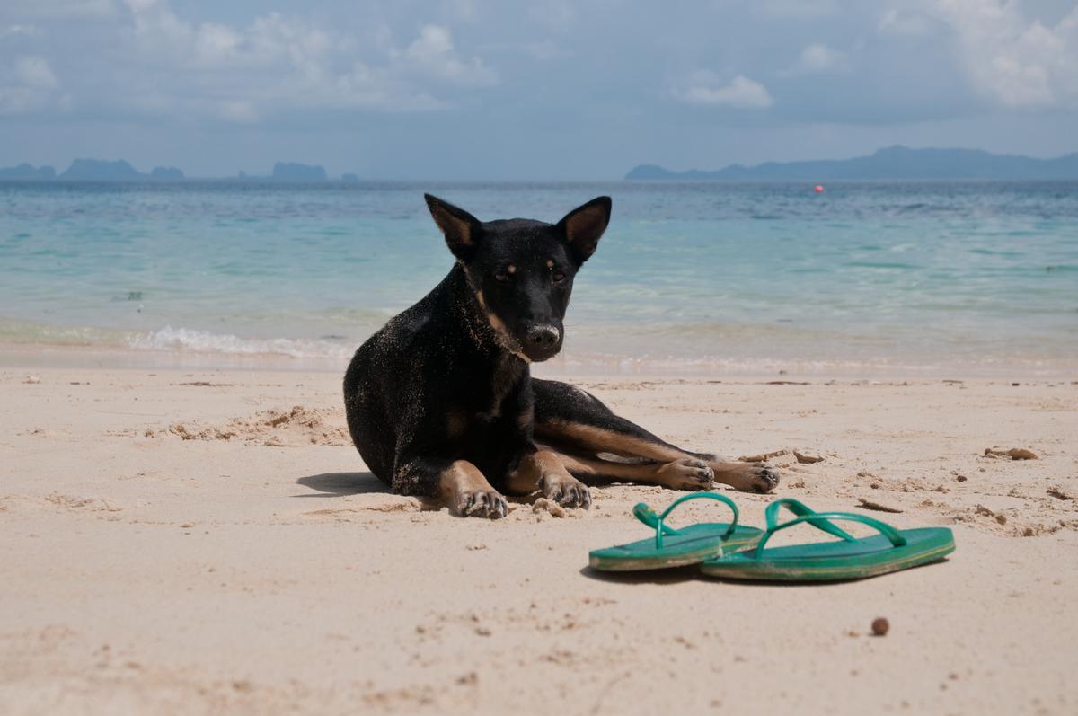 Dog Lies Next To Sandals on a Beach