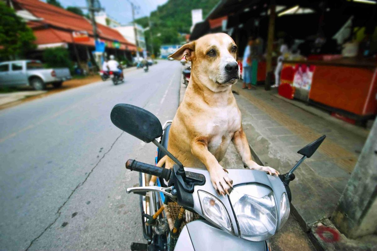 Dog Rides on Motor Bike