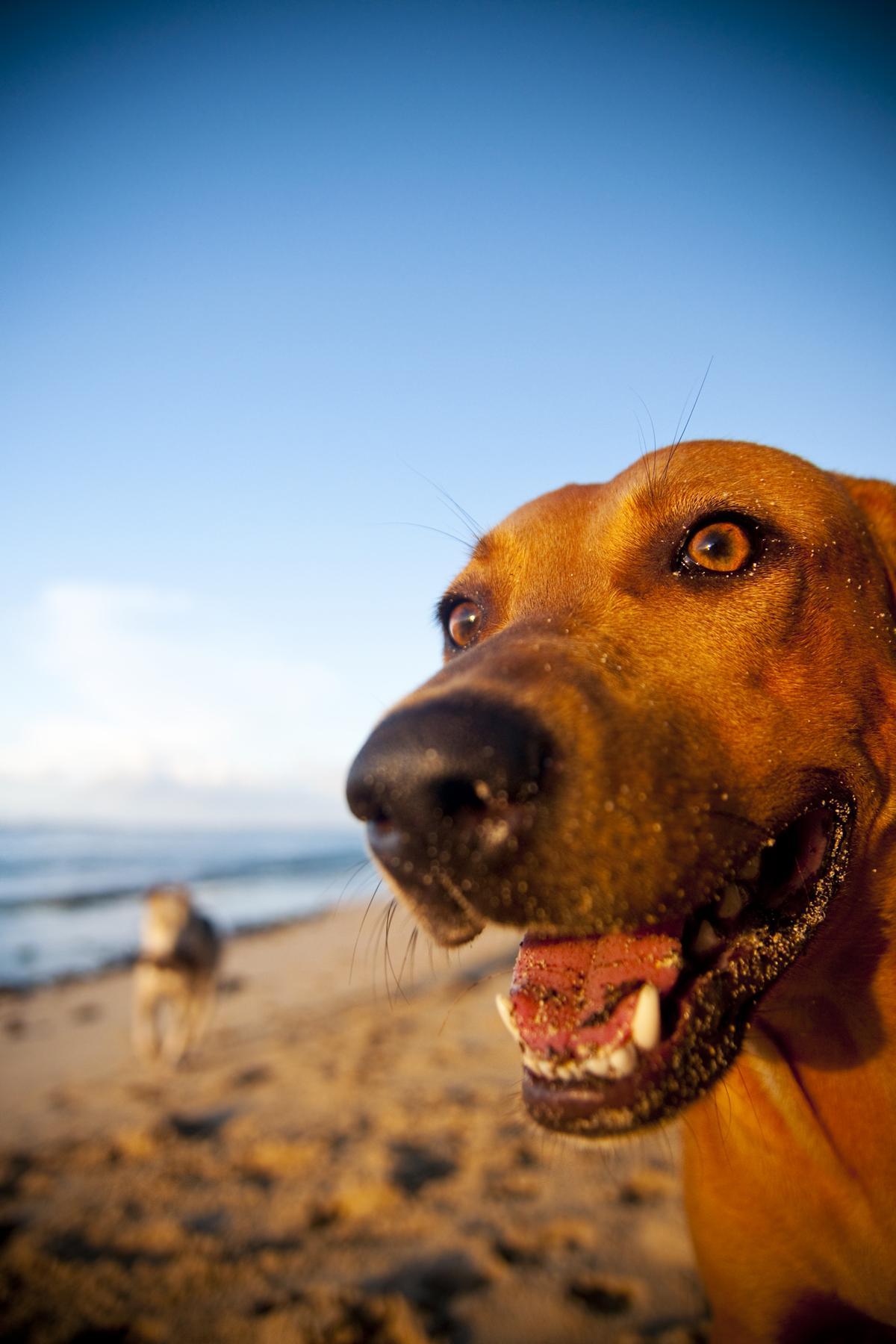 Up Close Dog on Samoan Beach