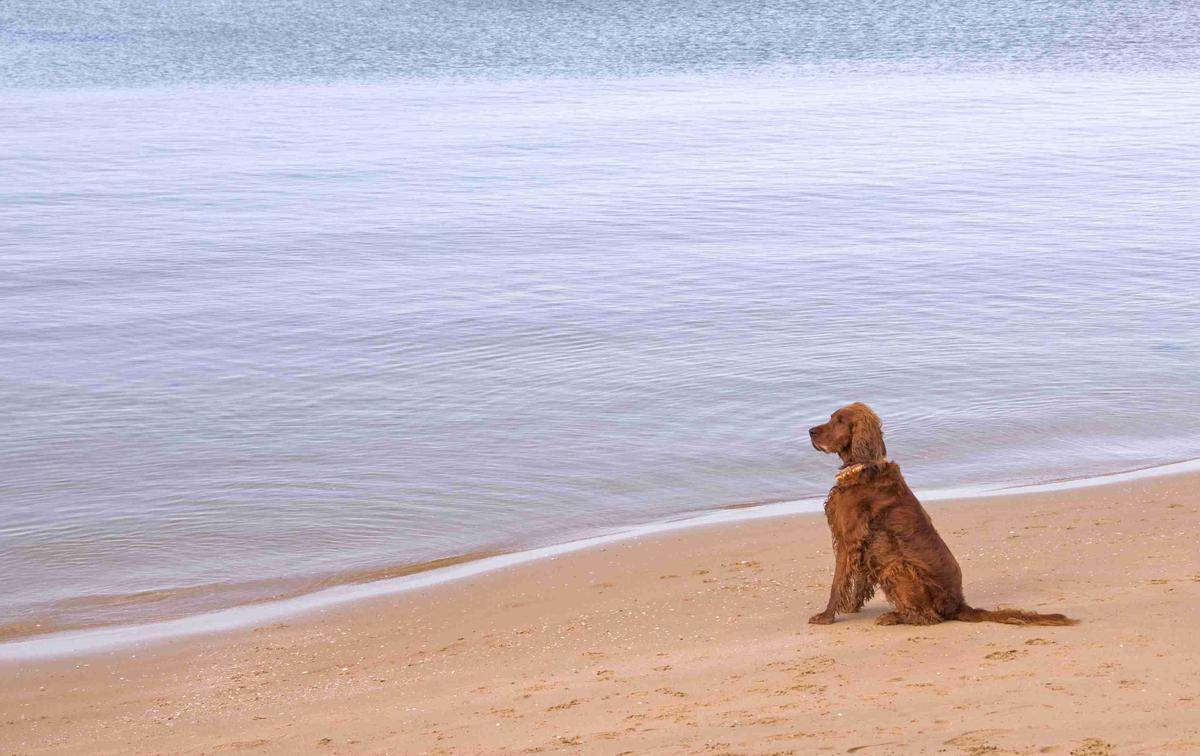 Dog Sits Patiently on the Beach