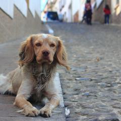 Spaniel Lies on a Sidewalk