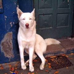 White Dog Sits in a Doorway