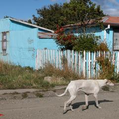 Dog Walks Down a Neighborhood Street