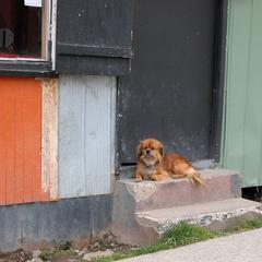 Dog Lies on a House's Steps
