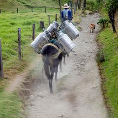 Farmer Transports Milk