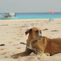 Dog Plays on Beach