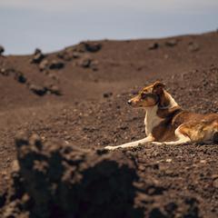 Dog Lies on Volcanic Rock