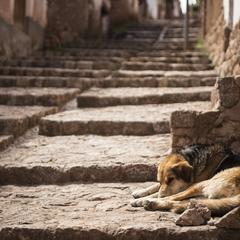 Dog Sleeps on Stone Steps