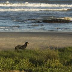 Dog Waits Near a Beach