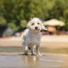 Dog Shakes Off Water