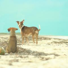 Dogs on a Beach with Fallen Coconuts