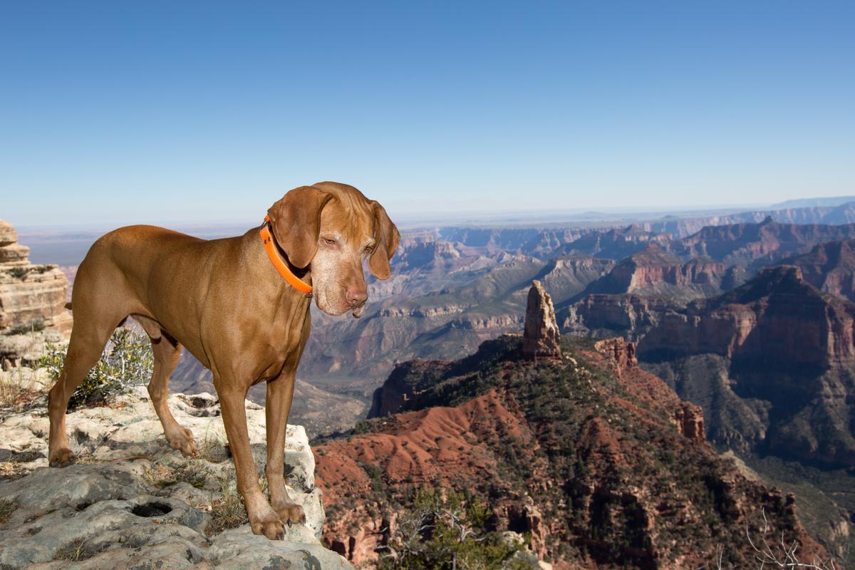 Vizsla Peers into the Grand Canyon