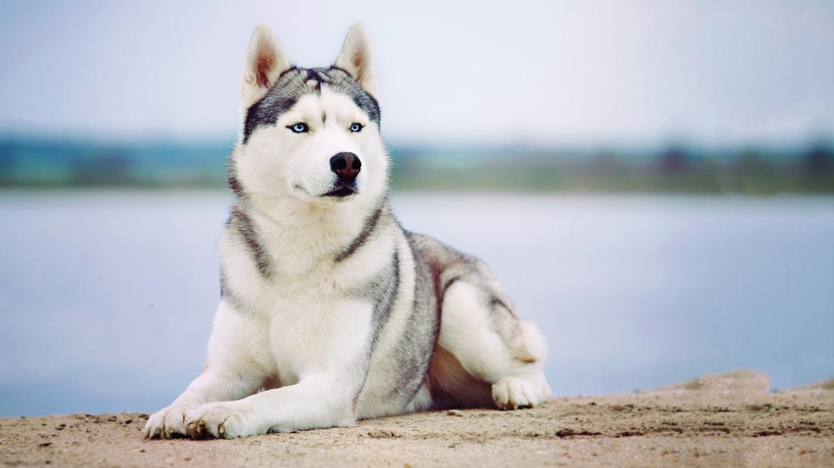 Siberian Husky Lies Near Water