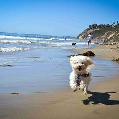 Happy Dog Running on the Beach