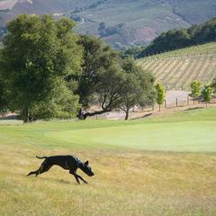 Dog Runs Through a Field Near a Vineyard