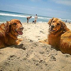 Golden Retrievers Enjoy the Beach
