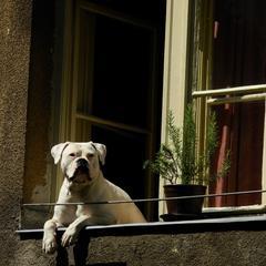 Dog in Window in Sarajevo