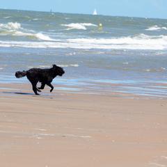 Running terrier dog on beach