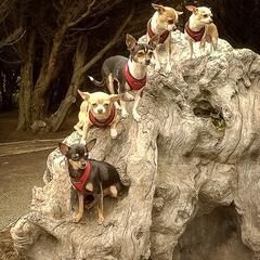 Chihuahuas on a Tree
