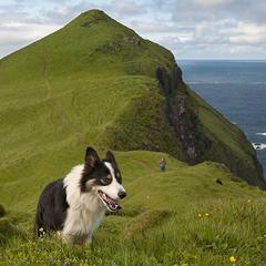Dog in the Faroe Islands