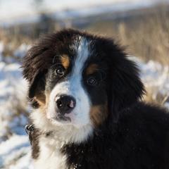 Berner Sennen Puppy in the Snow