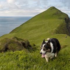 Man and his dogs hiking on Mykines, Faroe Islands