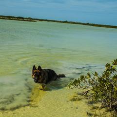 German Shepherd Walks in the Ocean