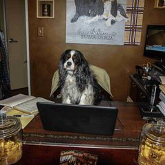Spaniel Works at a Desk