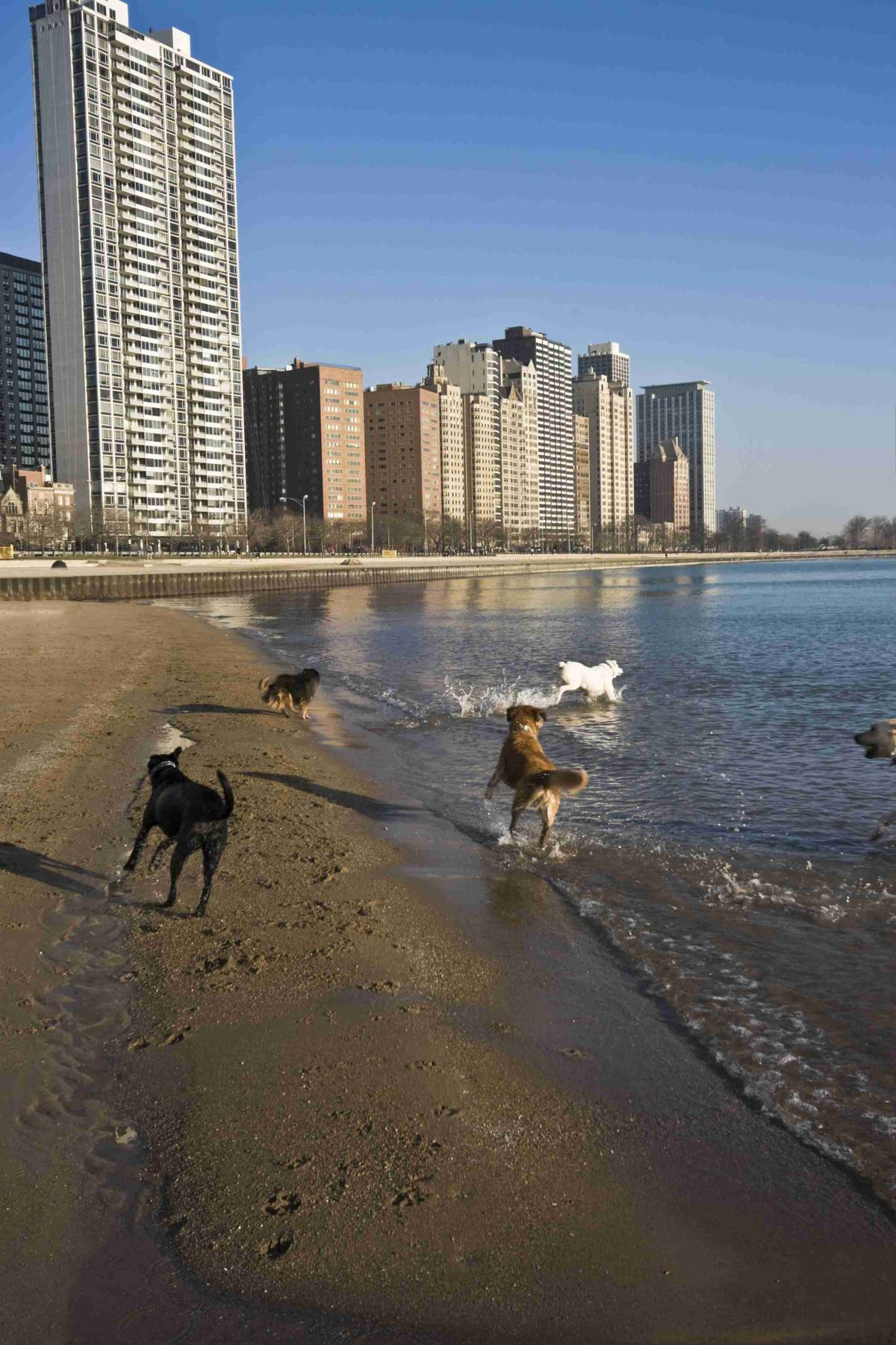 Dogs Run on the Beach in Chicago